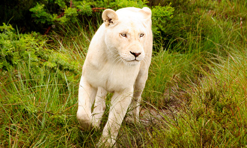 Amazing White Lion
