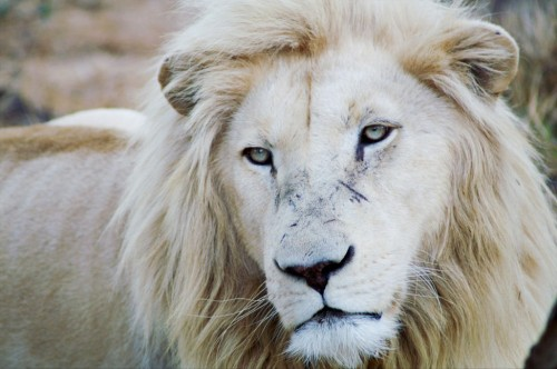 Cool White Lion Wallpaper