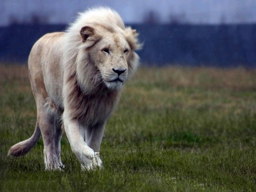 Rare White Lion Hunting