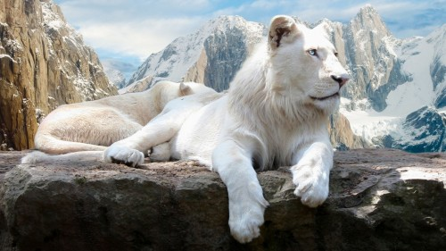 White Lion On Mountain