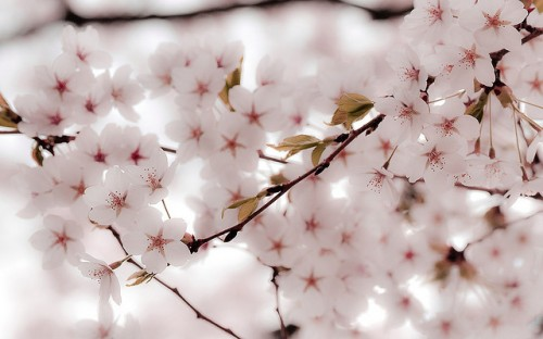 30 Hd Cherry Blossom Wallpapers For Desktop Designemerald