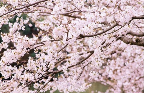 Cherry Tree Branches Wallpaper